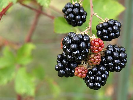 Blackberry2