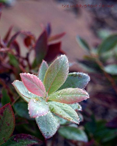 Blueberryfrost