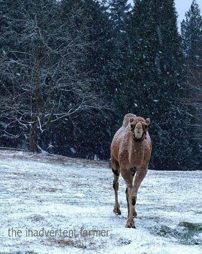 Snowcamel1