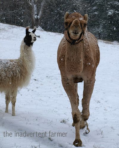 Snowcamel11