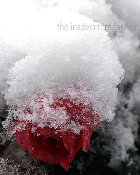 Winter rose3