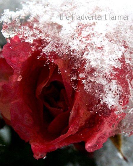 Winter rose1