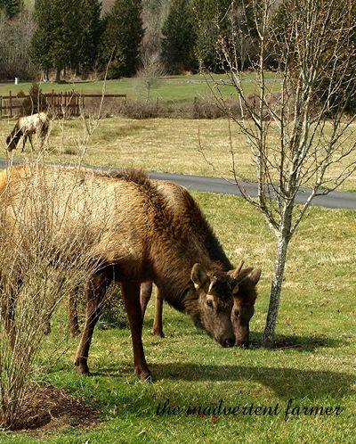 Elk weed3