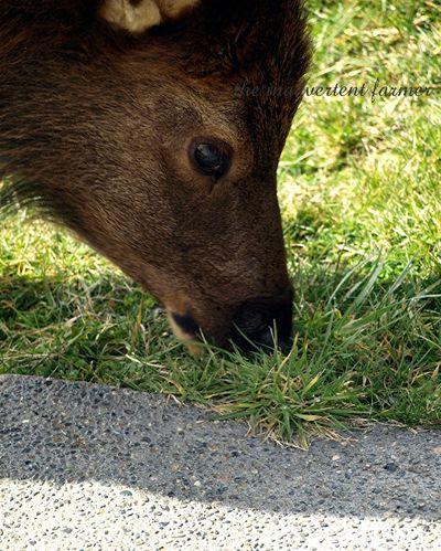 Elk weed6