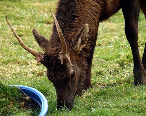 Elk weed15