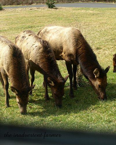 Elk weed4