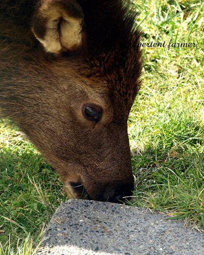 Elk weed5