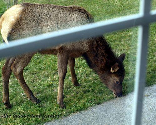 Elk weed9