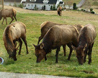Elk weed12