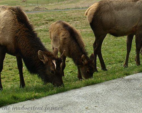 Elk weed11