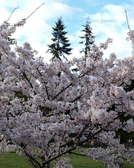 Cherry blossom7