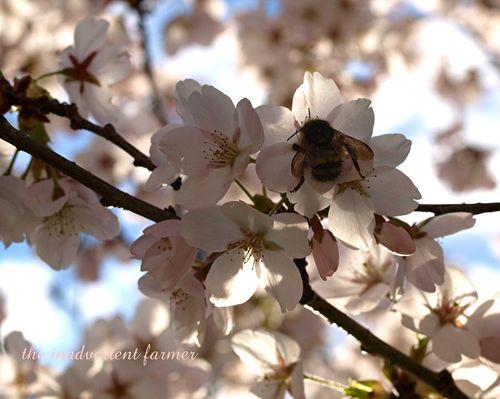 Cherry blossom8