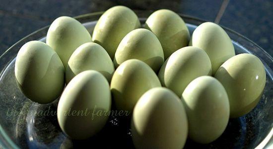Green eggs4