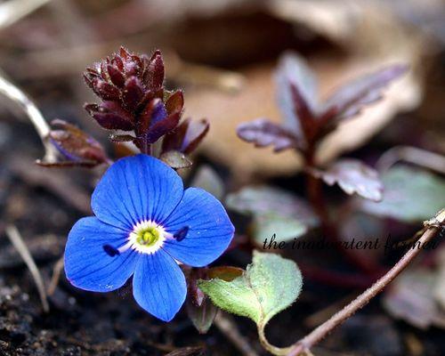 Tiny blue blossom