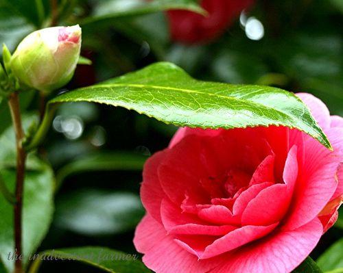 Camilia pink2