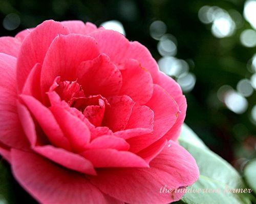 Camilia pink1