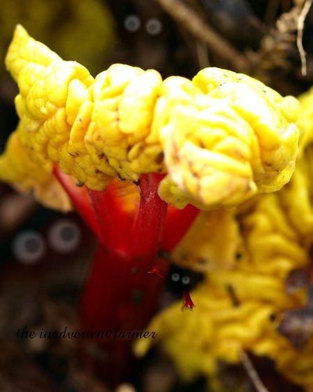 Rhubarb5