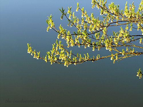 Lake tree bloom2