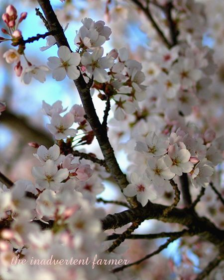 Cherry blossom9