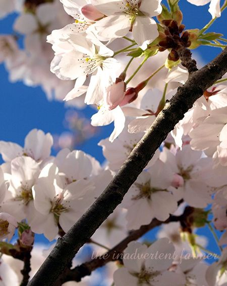 Cherry blossom6