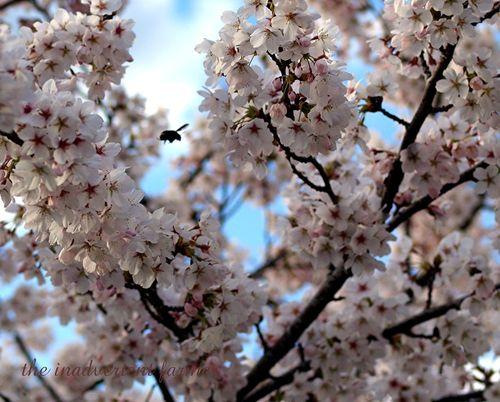 Cherry blossom10