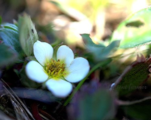 Wild strawberry blossom