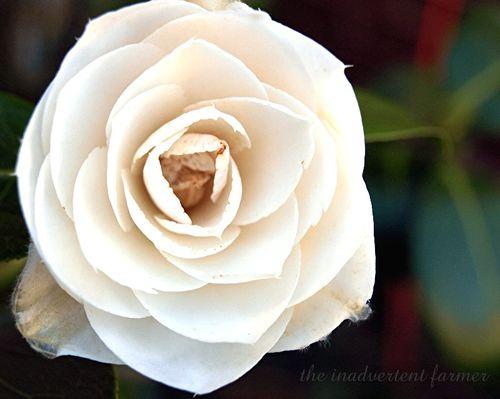 Camilia white1