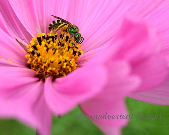 Green bug2