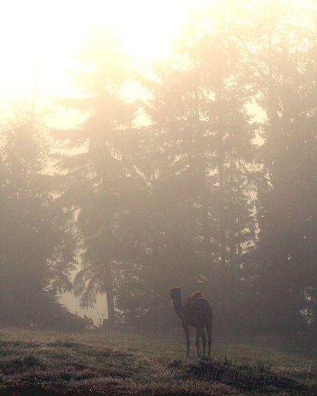 Camel mist1