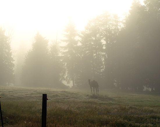 Camel mist2