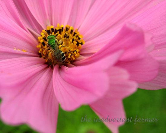 Green bug3