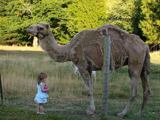 Camel shedding