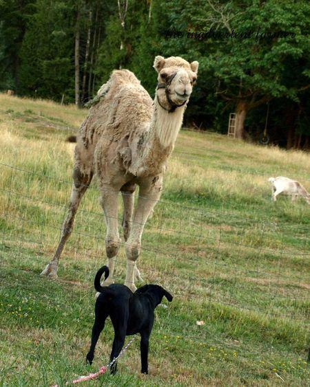 Sugar camel