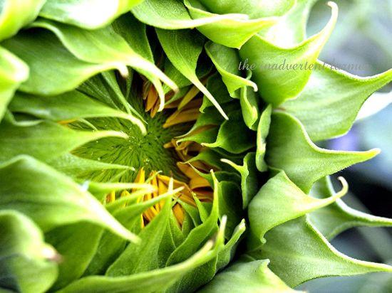 Birth sunflower