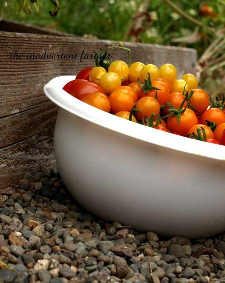 Tomato napper5