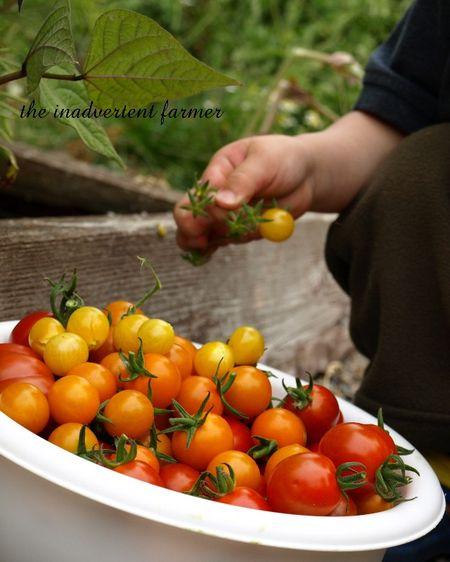 Tomato napper8