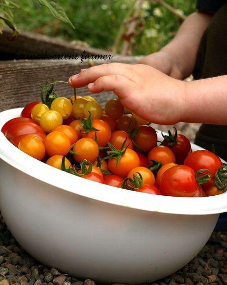 Tomato napper7