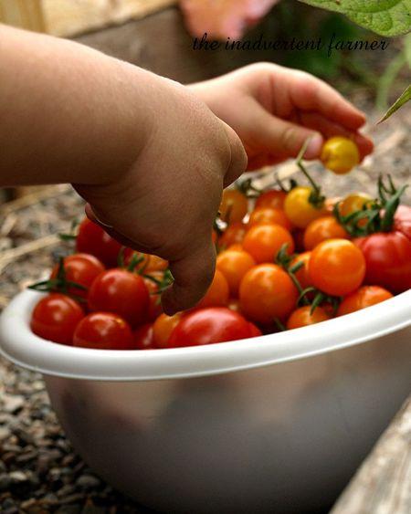 Tomato napper6