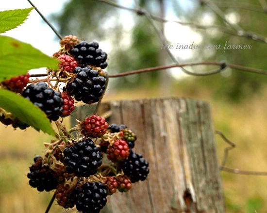 Blackberry picking1