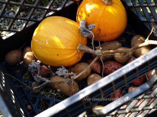 Pumpkins potaoes