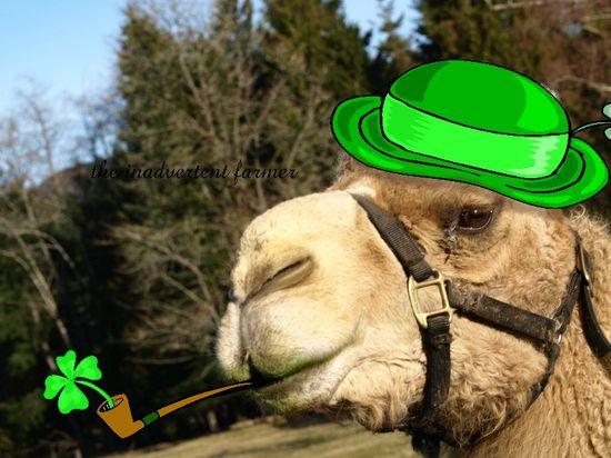 Irishcamel6
