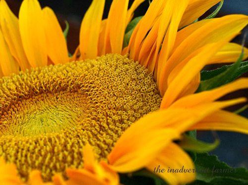 Birth sunflower2