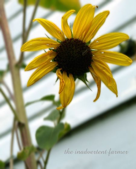 Little sunflower2
