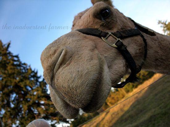 Good looking camel