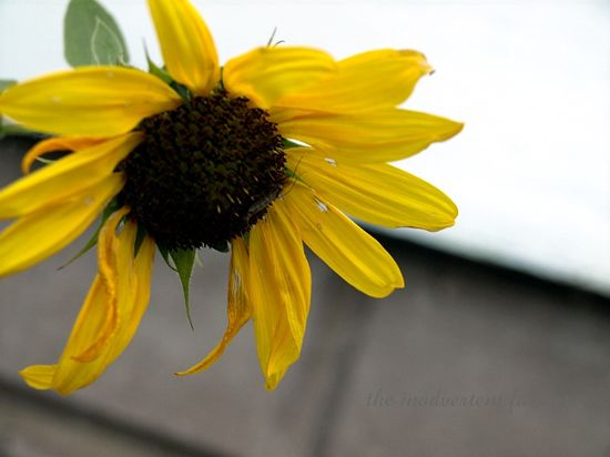 Little sunflower1