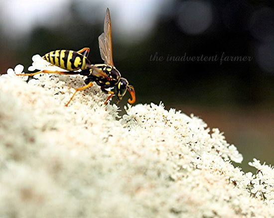 Yellow jacket1