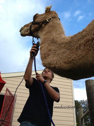 Shave camel3