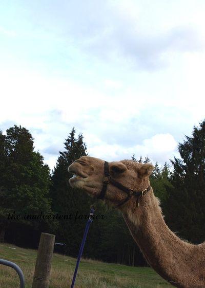 Shave camel9