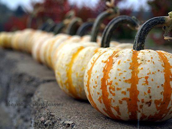 Pumpkin line2
