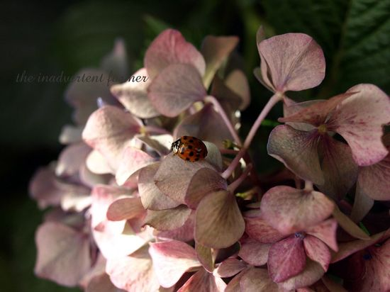 Lady bug1